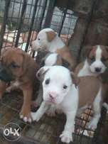Neat and agile pitbull puppies for sale
