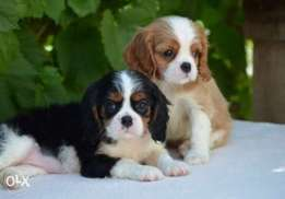 Best imported cavalier King Charles puppies with all documents