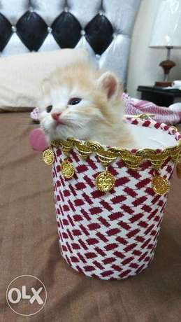 Pure Persian kittens الرياض -  2