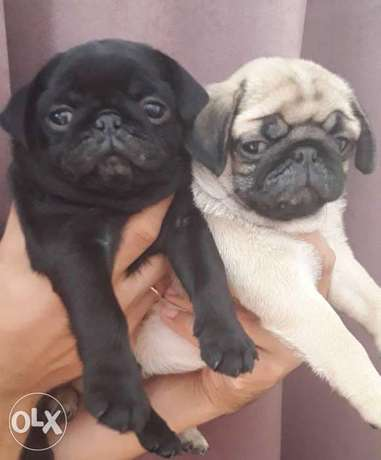 Top quality mini pug puppies, imported from Ukraine with Pedigree