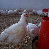 Large happy and healthy Broilers
