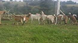 cattle , goats and sheep for sale