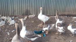 Goose for sale