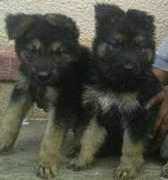 Male and female original german sherperd puppies