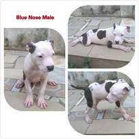 Blue line American Bully Pit Puppies for sale