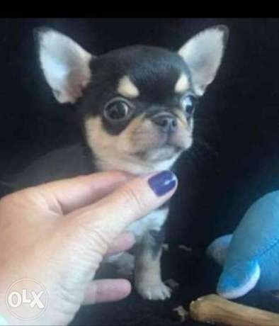 Reserve ur top quality chihuahua puppy, imported with all dcs