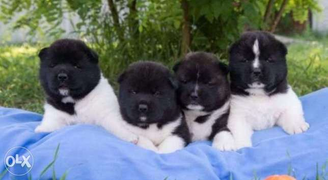 Imported American akita puppies with European Passport, Pedigree and m