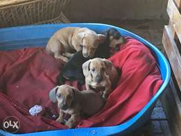 Dachshund Worsies for sale