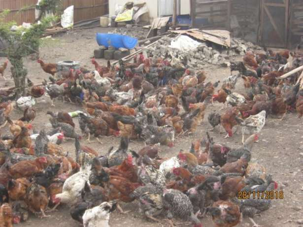 Chickens For Sale Ongata Rongai - image 6