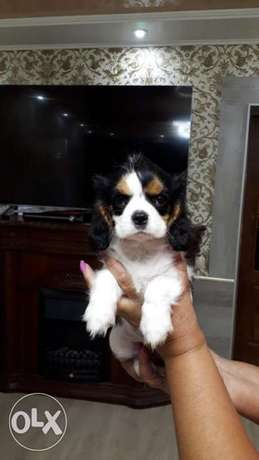3 Months Cavalier King Charles Spaniel Female Imported From Ukraine