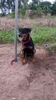 Mix rottweiler for sale female