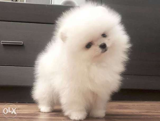 White and cream Poms puppy for sale