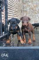 Dobberman puppies for sale