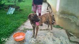 8months Boer Boel for sale
