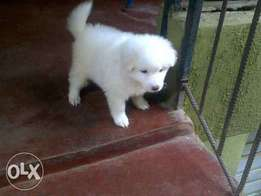 Lhasa puppies for sales both mâle and female