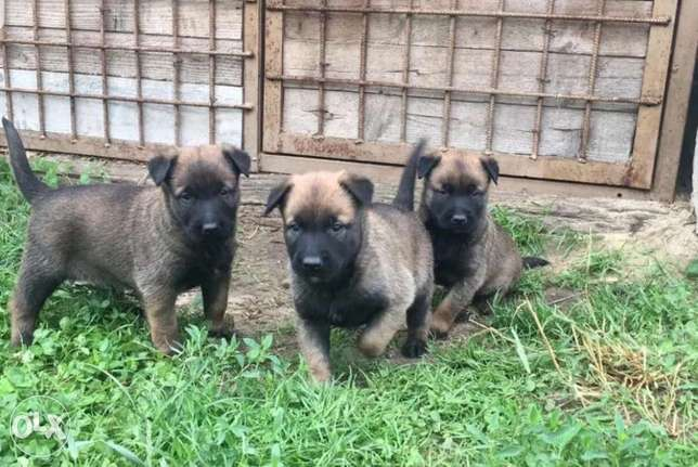 Malinois Puppies Dark Colors Imported From Working line Parents