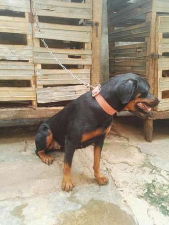 Female adults Rottweiler Ibadan Central - image 5