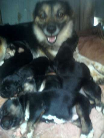 Security dogs for sale booked remaining. Only 3 Ngundu - image 1