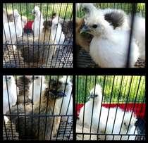 Chickens for sale Silkies