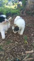 Maltese puppies on sale fully vaccinated ad dewormed age 3month old