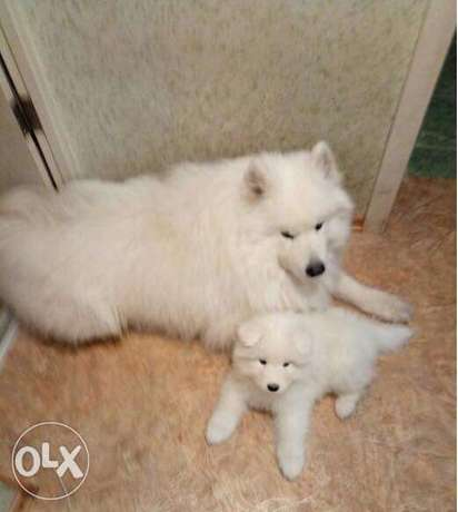 Imported Samoyed puppies top quality from ukraine