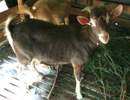 Togenburg male goat for breeding dairy goats or Christmas Choma