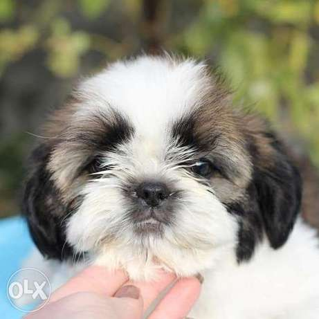 Offered for booking and sale Shih Tzu puppies,
