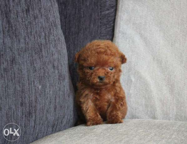 Teacup Poodle puppies available now