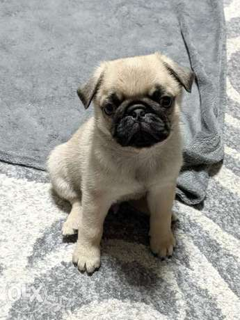 Pug puppies imported parents