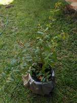 Fruit tree from R160