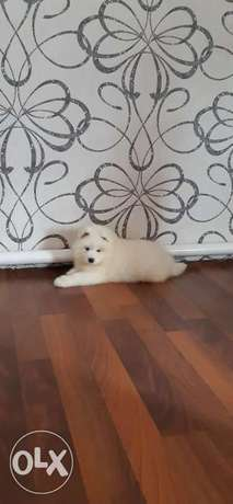 Imported samoyed puppies, giant size and high quality
