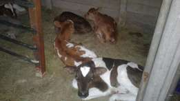 bull calves for sale