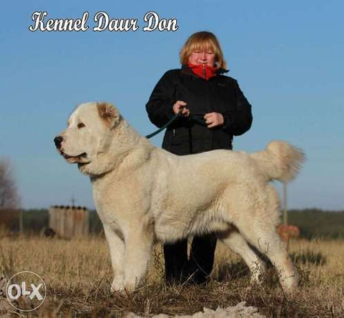 The Best Adult alabai Male Imported From Europe 80kg Fci