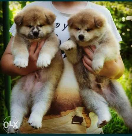 Japanese Akita puppies imported from Ukraine with Pedigree microchip