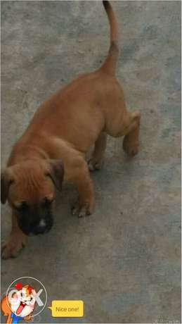 Boarbull for sale at a very cheap price Osogbo - image 1