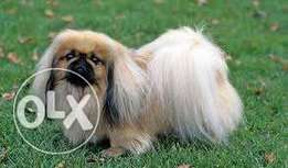 Looking for a pekingese puppy