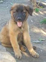Borebel GSD cross breed