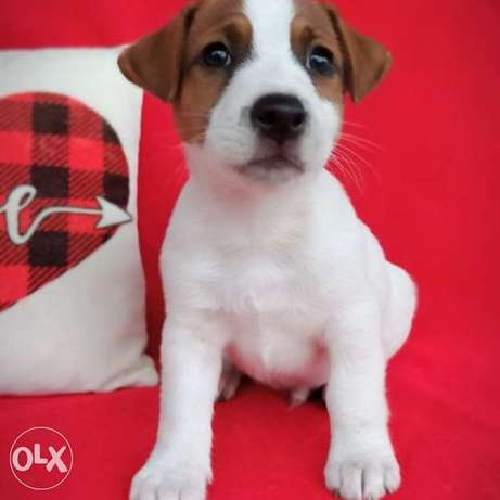 Bright, purebred Jack Russell Terrier boys!