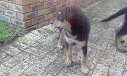female puppy 8 weeks old dewormed & innoculated