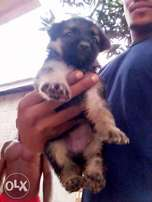 Gsd for sale 7 weeks old