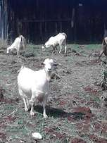 Pure Bred Goats From Saan Breeding