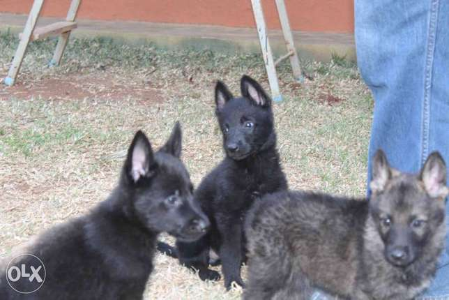 Extremely Rare Dark Sable\ Black German Shepherd pups.Parents imported Kasarani - image 3
