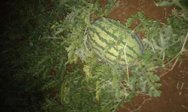 selling watermelon Kiamuringa - image 2