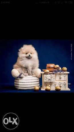 Very beautiful babes Pomeranian, cream-sable color