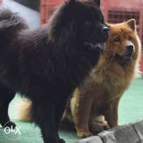 adult male and female chow chow