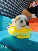 Immediate purchase, imported Shihtzu puppies with all documents