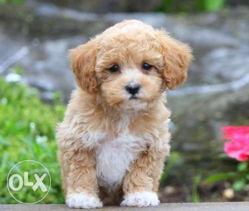 Sweet teacup Poodle puppies available for sale