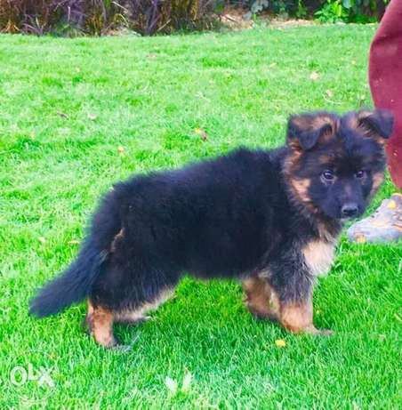Best German Shepherd Show line and Champions blood line 50days old