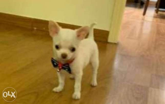 Reserve ur imported chihuahua puppy with all documents, top quality