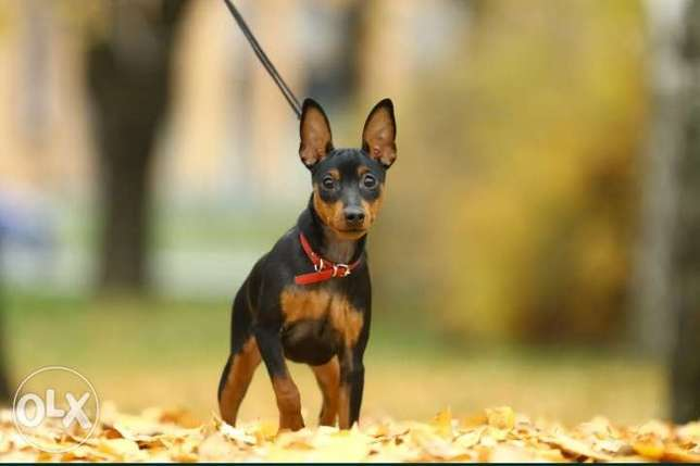 Mini pinscher puppies imported from Ukraine with FCI-Pedigree